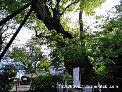 青渭神社の欅